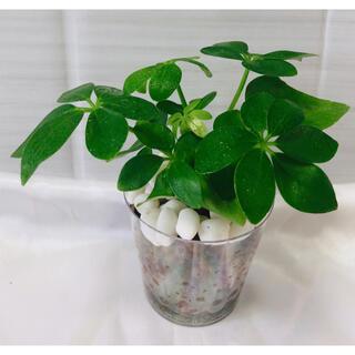 カポック 観葉植物 ハイドロカルチャー(プランター)