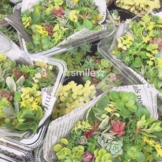 多肉植物 セダム カット苗(その他)