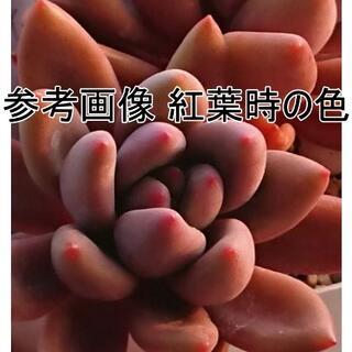 【1】大輪!紅葉!ルビードナ 抜き苗 韓国苗エケベリア(その他)