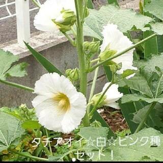 タチアオイ☆白☆ピンク種セット(プランター)