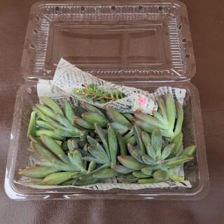 ❀ 多肉植物カット苗 秋麗③ 花(プランター)