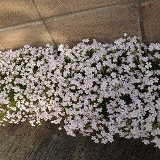 白色のシレネ お花の種(プランター)