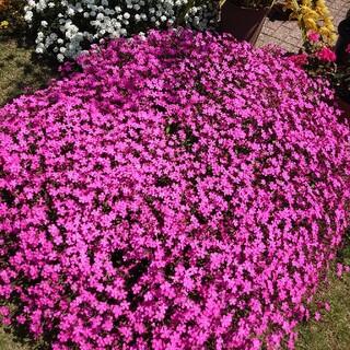 ピンクパンサー お花の種(その他)