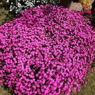 お花の種 ピンクパンサー(プランター)