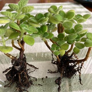 アロマティカス 抜き苗2本 多肉植物