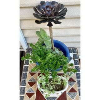 多肉植物 4種ミックス 植物 多肉 セダム 黒法師 白絹姫 根付き セット(その他)
