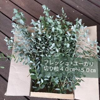 フレッシュユーカリ 切り枝 長尺40-50cm(保湿発送)(ドライフラワー)