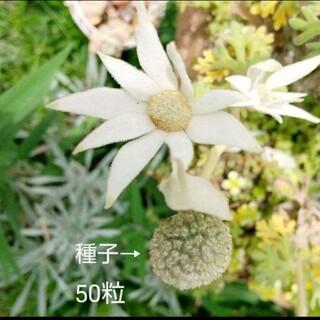 種子  ꔛꕤ  フランネルフラワー  50粒(プランター)