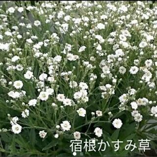 宿根かすみ草  100粒以上  白花  種(プランター)