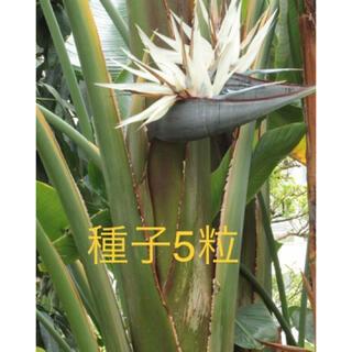 ストレリチア ニコライ 種子5粒(その他)