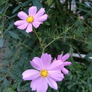 コスモスの種 30個 ピンク、白混合(プランター)