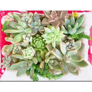 多肉植物 /カット苗 /寄せ植え /セダム /ネックレス