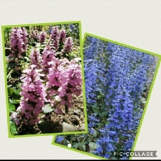 アシュガ 濃ピンク色2本+青紫色2本◆簡単な育て方付き(その他)