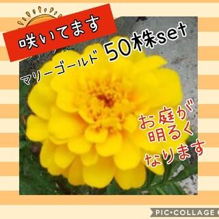 マリーゴールド  花苗 50株set(プランター)