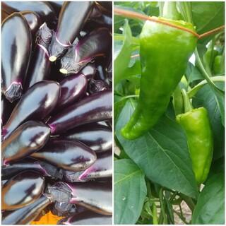 茄子 ジャンボピーマン 夏野菜2種