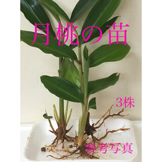 月桃の苗 抜き苗 3株 抗菌作用 沖縄離島産 癒しの香り(その他)