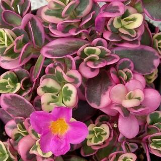 多肉植物 斑入りポーチュラカ ピンク 5カット(その他)