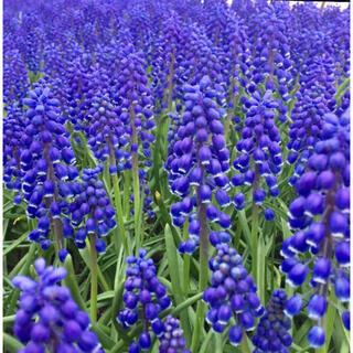 銀の紫陽花が作ったムスカリの球根 小さめだけど元気な100球➕おまけ20球‼️(プランター)