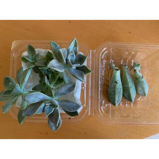 多肉植物  朧月  カット苗 根あり2つ  未発根4つ  葉挿し根あり3つ(プランター)