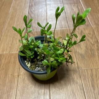 ベニ稚児 多肉植物(プランター)