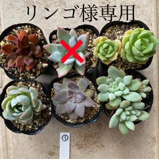 多肉植物  ①6個セット  抜き苗