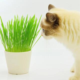 【ペットの栄養補給!】えん麦☆燕麦 種 大容量40g!(農薬未処理)(プランター)