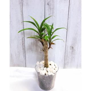 コルジリネ グリーンストライプ 観葉植物(プランター)