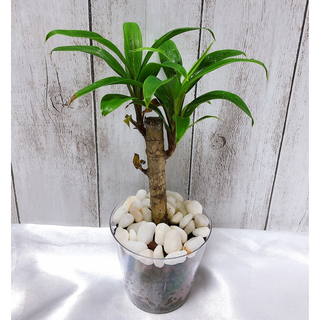 コルジリネ 観葉植物 グリーンストライプ(プランター)