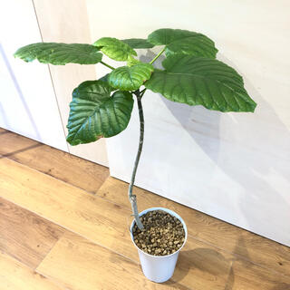 フィカス ウンベラータ 80cm ゴムの木 観葉植物(プランター)