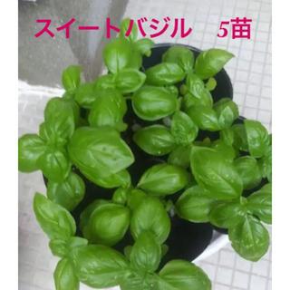 スイートバジル 苗 5本(野菜)
