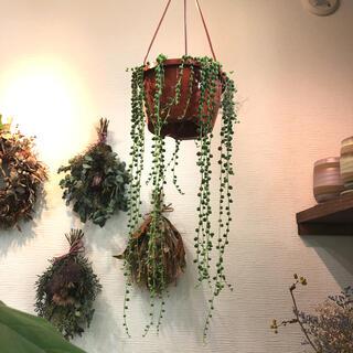 観葉植物 グリーンネックレス(その他)