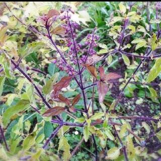 クリシュナトゥルシーの種 20粒(野菜)