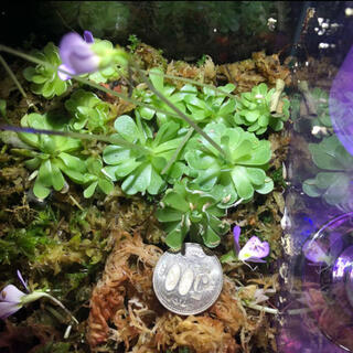 ピンギキュラ エセリアナ3株 虫取りスミレ 食虫植物