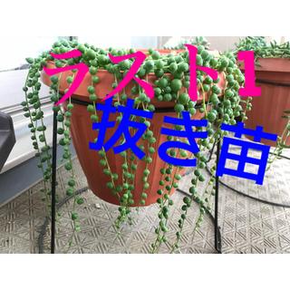 グリーンネックレス 抜き苗 42g程 多肉 多肉植物(その他)