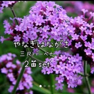 ヤナギハナガサ  花苗三尺バーベナ 2苗set宿根草 (その他)