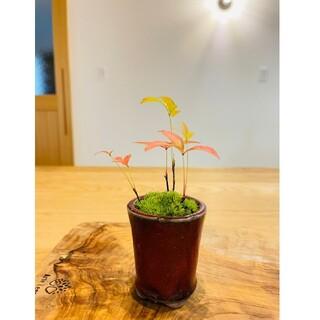 南天のミニ盆栽 苔玉(その他)