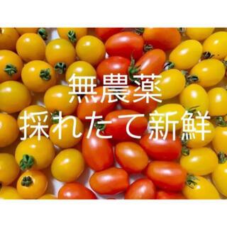 無農薬栽培トマト 900g以上(野菜)