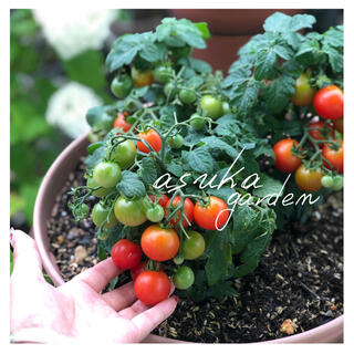 初心者向け!プランターOK!とっても可愛い! ドワーフトマト ミニトマト (野菜)