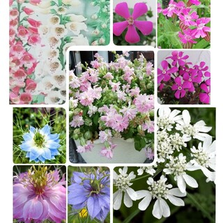 花の種  シレネ2種 オルレア ニゲラ ジキタリス