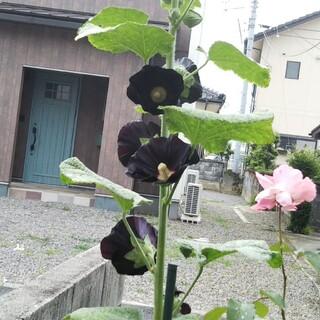 黒タチアオイ アルセア ブラックナイト 種  おまけのヘリクリサム種(その他)