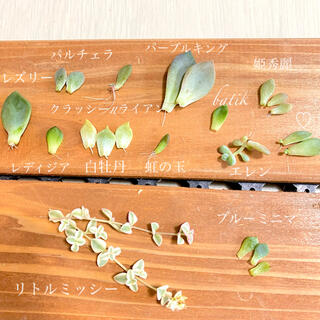 * 多肉植物 ちっちゃな葉挿しセット * 12種♡(その他)