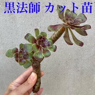 黒法師 カット苗 ちいさめ3つ(その他)