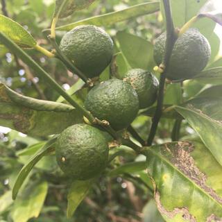 シークワーサー 1kg 農薬・肥料不使用(フルーツ)