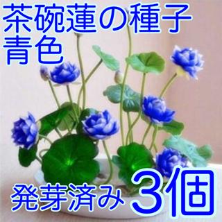 茶碗蓮の種子 青色のみ3個 発芽済み(その他)