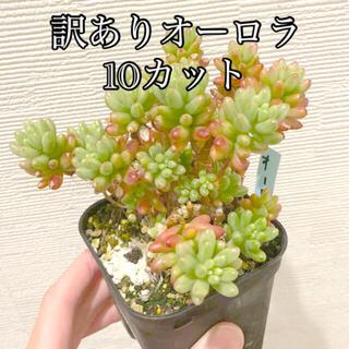 多肉植物 オーロラ(その他)