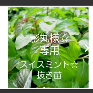 スイスミント☆抜き苗(プランター)