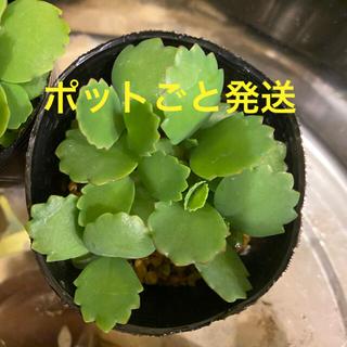 多肉植物 マザーリーフ 子宝草 ポットごと発送(その他)