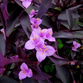 紫露草科 パープルハート 和名:紫御殿 カット5本(プランター)