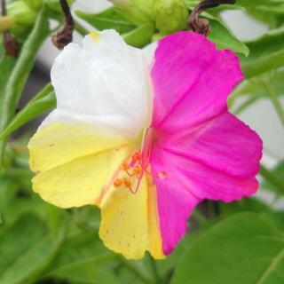3色絞り おしろい花/オシロイバナ 種(その他)