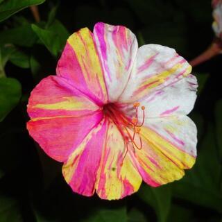 3色絞り模様のオシロイバナ/おしろい花から採取した種(その他)